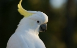 Cockatoo, White, Loud, Interrupting